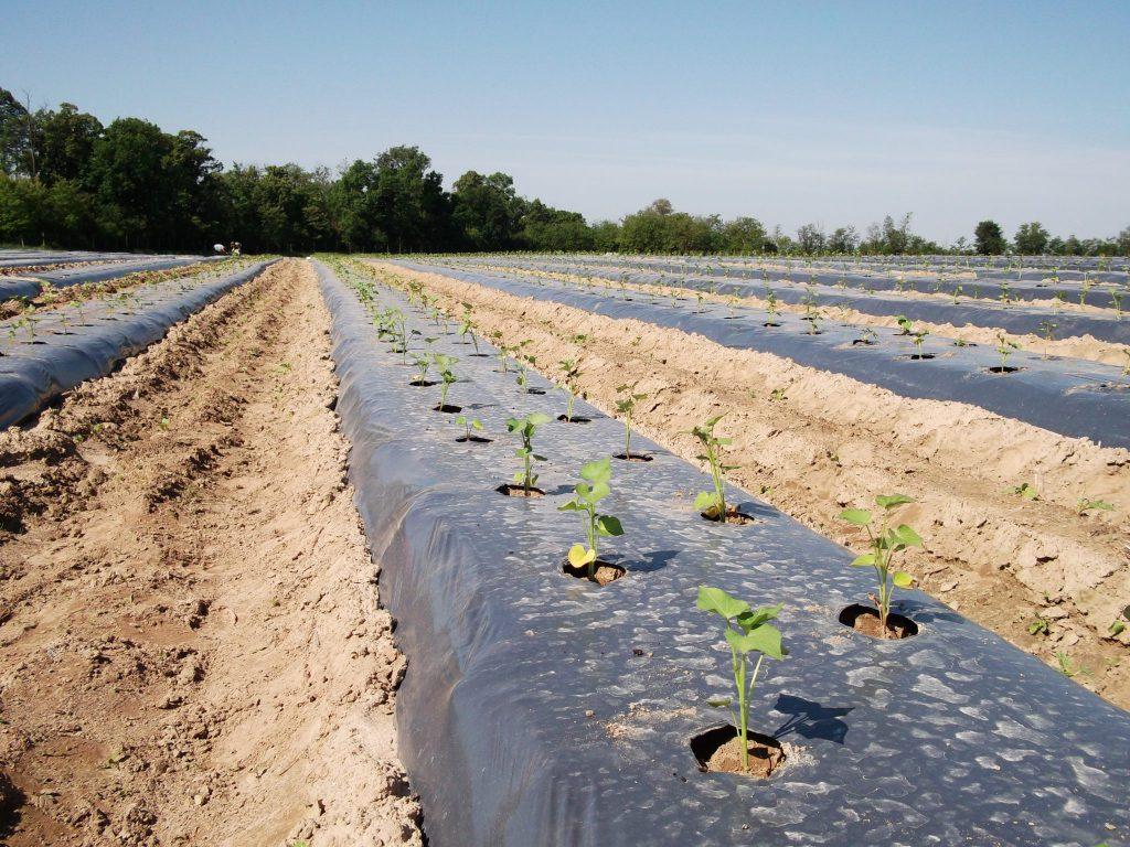 Frissen ültetett édesburgonya bakhátas termesztési módban, fóliatakarással.