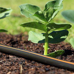 Csepegtető szalag édesburgonya ültetéshez