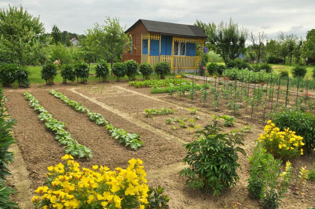 A kerti munka, és a z édesburgonya termelés boldoggá tehet!