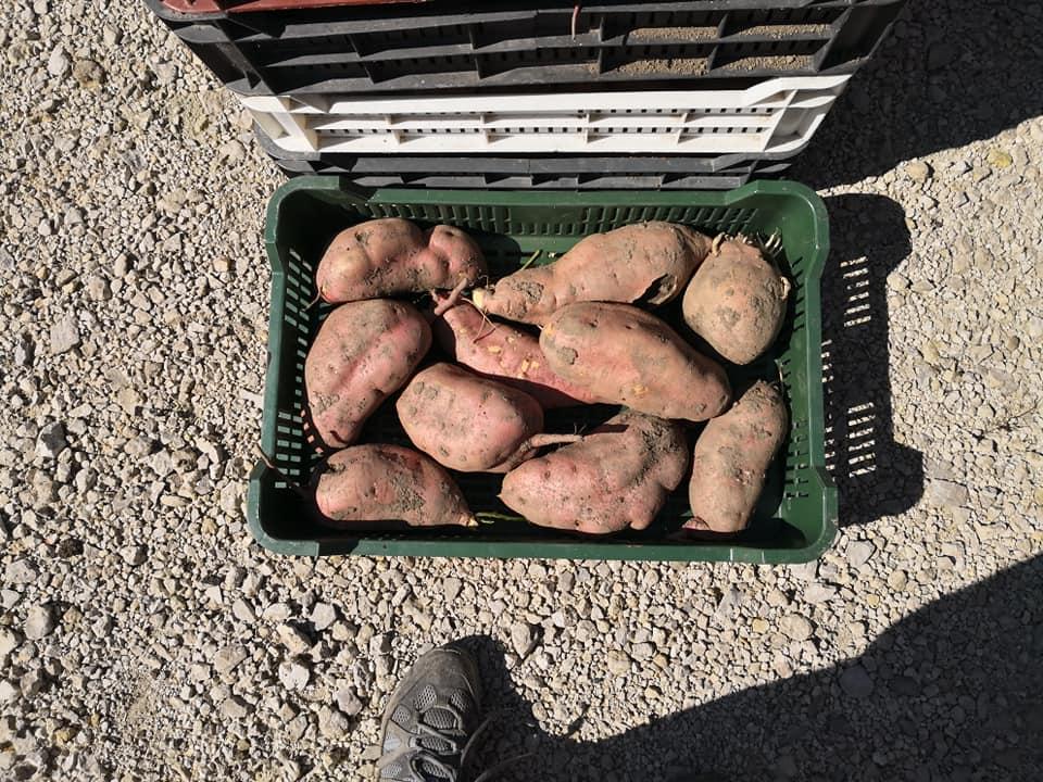 Friss édesburgonya termés ládában